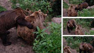 Europäischer Braunbären (Ursus arctos) Kaja und Arian im Alternativen Wolf- und Bärenpark Schwarzwald